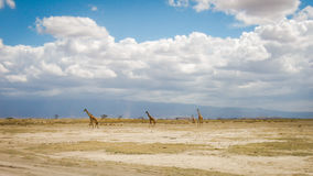 afrikansk giraffsavannah royaltyfri fotografi