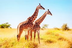 afrikansk giraffsavannah afrikansk safari royaltyfria foton