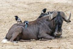 Afrikansk gnu med fåglar som ser dig royaltyfria bilder