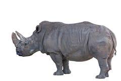 afrikansk grå isolerad noshörningwhite Arkivfoton