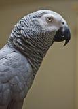 Afrikansk grå papegoja 004 Fotografering för Bildbyråer