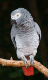 afrikansk grå papegoja Arkivbild