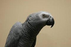 afrikansk grå papegoja royaltyfri bild
