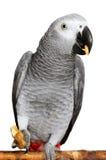 Afrikansk grå papegoja royaltyfria foton