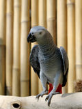 afrikansk grå papegoja Royaltyfria Bilder