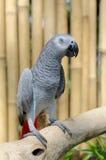 afrikansk grå papegoja Arkivfoto