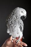 afrikansk grå papegoja royaltyfri foto