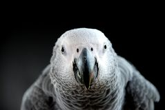 afrikansk grå papegoja Arkivfoton