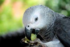 afrikansk grå papegoja Fotografering för Bildbyråer