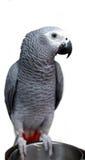 Afrikansk grå papegoja och vit framsida Royaltyfria Foton