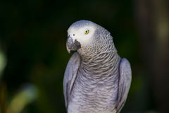 Afrikansk grå papegojanärbild arkivbilder