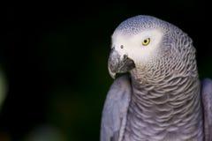 Afrikansk grå papegojanärbild royaltyfri fotografi