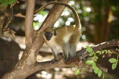 Afrikansk grön apa Fotografering för Bildbyråer