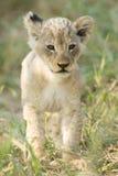 Afrikansk gröngöling Sydafrika för lejon (pantheraen leo) Arkivfoto