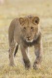 afrikansk gröngölinglion Royaltyfria Foton