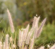 Afrikansk gräsPennisetum Arkivfoto