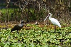 afrikansk hadeda ibis Arkivfoto