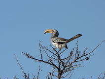 afrikansk hornbill Arkivbilder