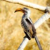 Afrikansk Hornbillfågel som sitter på en trädfilial royaltyfri fotografi