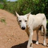 Afrikansk hund i Kamerun Arkivfoto