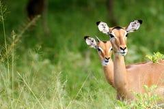 afrikansk impala Arkivbild