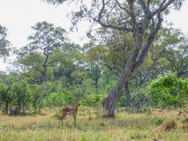 Afrikansk impala, aerpycerosmelampus, Botswana arkivbild