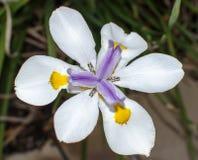 afrikansk iris Arkivbild