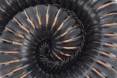 Afrikansk jätte- tusenfoting (den Mardonius parilisacuticonusen) Arkivbilder