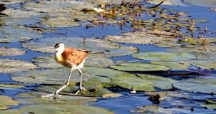 Afrikansk jacana för fågel, Namibia Afrika djurliv stock video