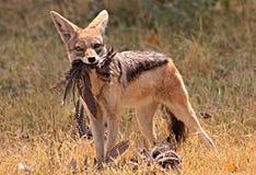 afrikansk jackal Royaltyfria Bilder