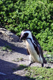 afrikansk jackasspingvin Arkivfoton