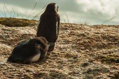 afrikansk jackasspingvin Royaltyfri Fotografi
