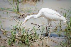 Afrikansk jakt för fågel för nötkreaturägretthäger på waterhole i Pendjari NP, Benin Arkivfoto