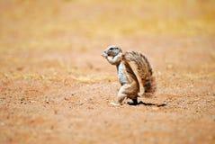 afrikansk jordningsekorre Fotografering för Bildbyråer