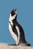 afrikansk kallande pingvin Arkivfoton