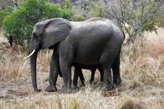 afrikansk kalvelefant Arkivfoto