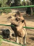 afrikansk kamel royaltyfri bild