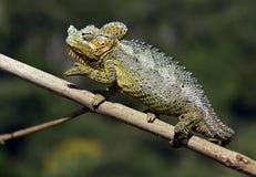 Afrikansk kameleont Royaltyfri Fotografi
