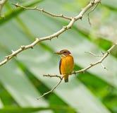 afrikansk kingfisherpygmy arkivfoton