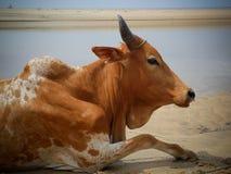 afrikansk ko Royaltyfria Bilder