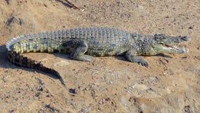 Afrikansk krokodil Arkivbild