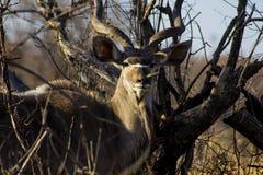 afrikansk kudu fotografering för bildbyråer