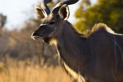 afrikansk kudu arkivbild