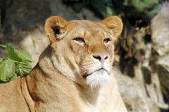 Afrikansk kvinnlig lejondrottning av fäståenden Arkivfoto
