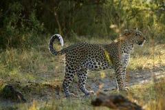 Afrikansk kvinnlig leopard Arkivbilder