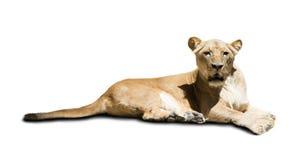 Afrikansk kvinnlig lion Fotografering för Bildbyråer