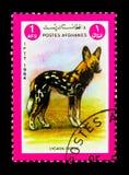 Afrikansk lös hund (den Lycaon pictusen), djurserie, circa 1984 Royaltyfri Fotografi