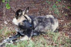 Afrikansk lös hund i skog royaltyfri bild