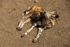 Afrikansk lös hund som kopplar av i solen Royaltyfri Fotografi
