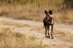 Afrikansk lös hundkapplöpning Royaltyfri Fotografi
